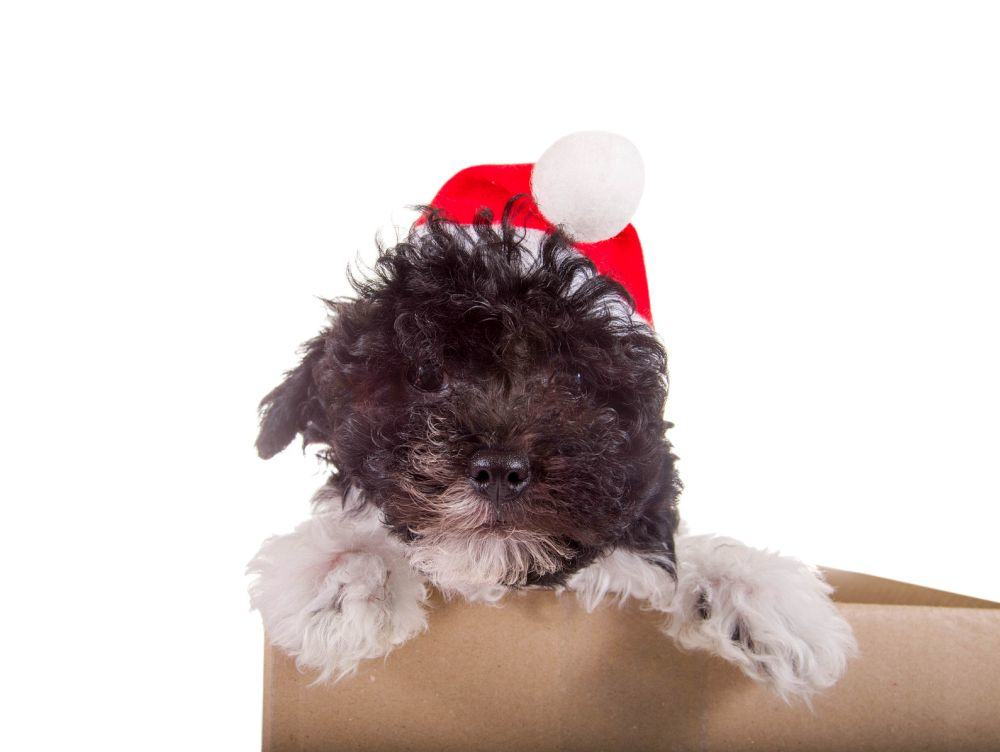 Hundewelpe mit Nikolausmütze im Karton