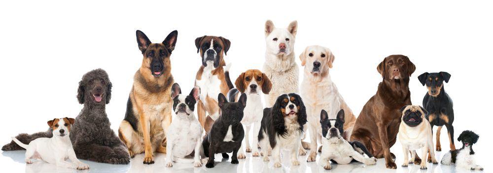 Lebensdauer des Bolonka Zwetna im Vergleich mit anderen Hunderassen
