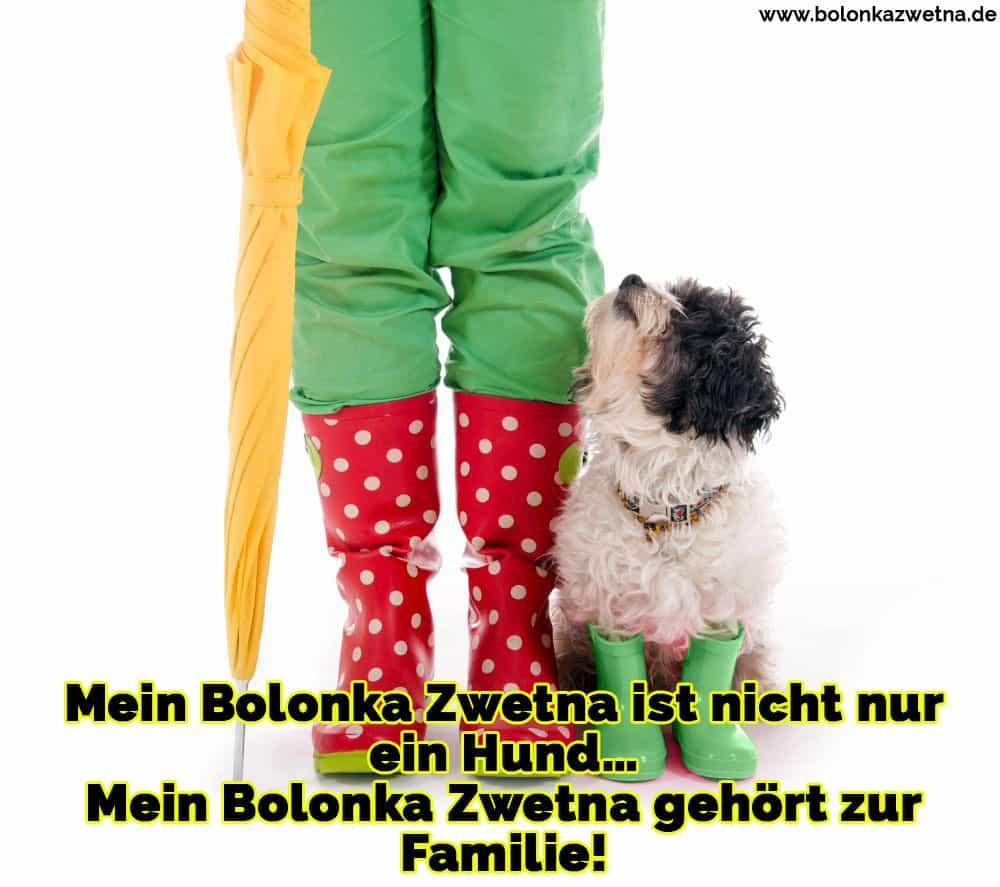 Ein Bolonka Zwetna Galoschen tragen