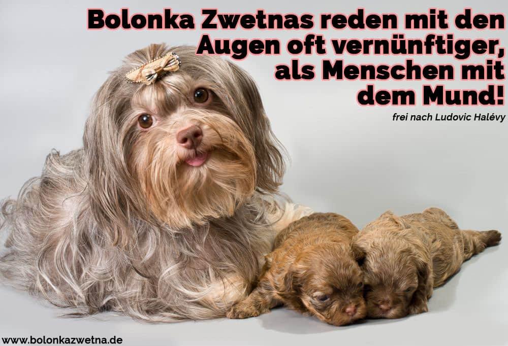 Ein Bolonka Zwetna und ihre Welpen