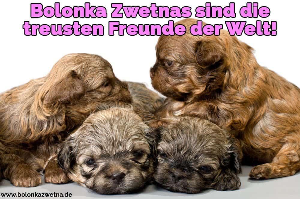 Vier Welpen von Bolonka Zwetna