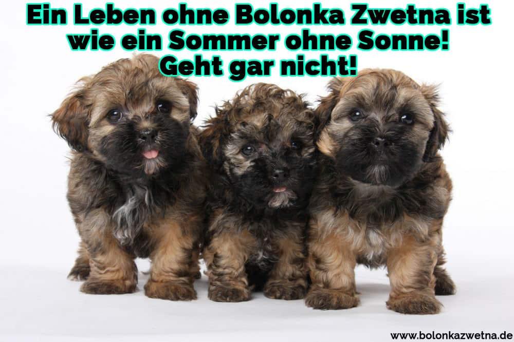 Drei glückliche Bolonka Zwetna