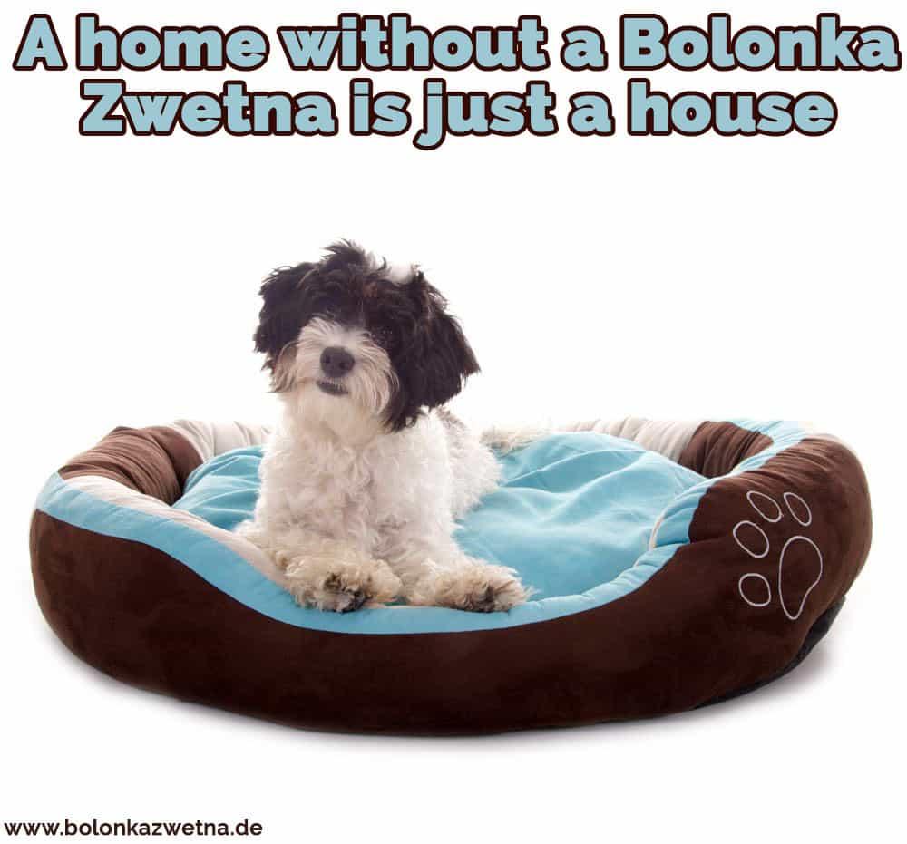 Ein Bolonka Zwetna in Ihrem Bett