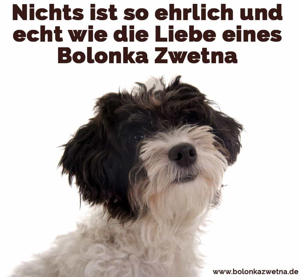 Ein trauriges Zwetna Bolonka